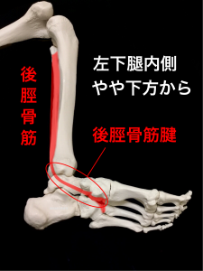後脛骨筋|住吉区長居藤田鍼灸整骨院