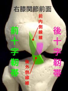前十字靭帯・前内側線維・後外側線維|住吉区長居藤田鍼灸整骨院