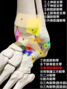 足根洞症候群-骨間距踵靭帯と足関節外側の靭帯|大阪市住吉区長居藤田鍼灸整骨院