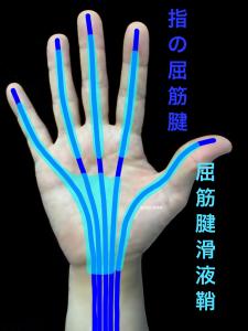 指の屈筋腱と滑液鞘|住吉区長居藤田鍼灸整骨院