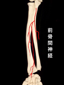 前骨間神経②