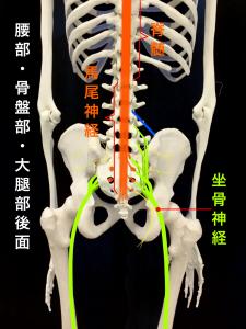 坐骨神経痛ー馬尾神経と坐骨神経|大阪市住吉区長居藤田鍼灸整骨院