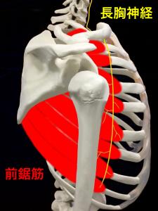 長胸神経麻痺ー長胸神経と前鋸筋|大阪市住吉区長居藤田鍼灸整骨院