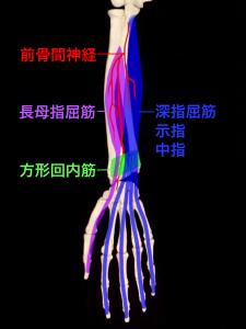 前骨間神経が支配する筋肉ー長母指屈筋・深指屈筋・方形回内筋 大阪市住吉区長居藤田鍼灸整骨院