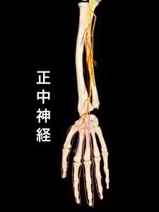 正中神経の走行②