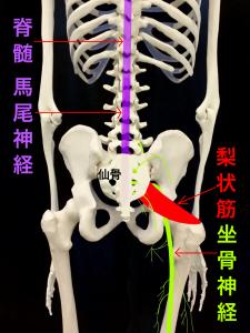 梨状筋症候群③坐骨神経は仙骨と梨状筋の下を通過する|住吉区長居藤田