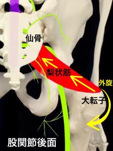 梨状筋症候群①梨状筋の位置と働き|大阪市住吉区長居藤田鍼灸整骨院