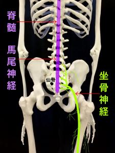 梨状筋症候群②坐骨神経の走行
