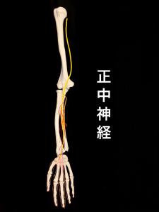 正中神経の走行① 大阪市住吉区長居藤田鍼灸整骨院