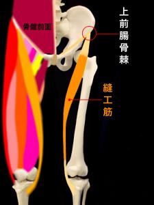 上前腸骨棘裂離骨折・上前腸骨棘剥離骨折―上前腸骨棘と縫工筋
