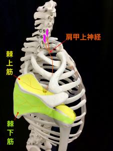 肩甲上神経麻痺ー肩甲上神経と棘上筋、棘下筋|大阪市住吉区長居藤田鍼灸整骨院