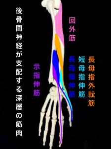 後骨間神経が支配する筋肉(深層)