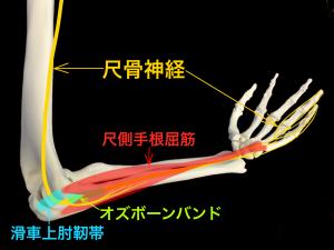 肘部管の構成と障害部位|大阪市住吉区長居藤田鍼灸整骨院