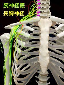 長胸神経麻痺ー長胸神経と腕神経叢の走行イメージ|大阪市住吉区長居藤田鍼灸整骨院