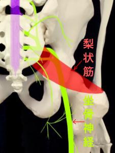 梨状筋症候群⑤坐骨神経は仙骨と梨状筋の下を通過する|大阪市住吉区長居藤田鍼灸整骨院