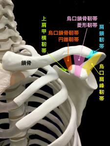 鎖骨骨折―烏口鎖骨靭帯・肩鎖靭帯|大阪市住吉区長居藤田鍼灸整骨院