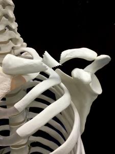 鎖骨骨折―複数骨折|大阪市住吉区長居藤田鍼灸整骨院