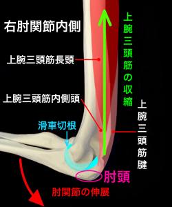 肘関節ー肘頭と滑車切根と上腕三頭筋の働き|大阪市住吉区長居藤田鍼灸整骨院