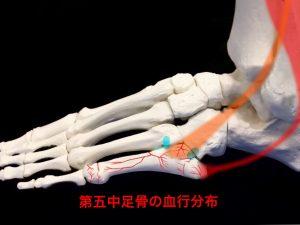 ジョーンズ骨折―第五中足骨の血行分布イメージ|住吉区長居藤田鍼灸整骨院