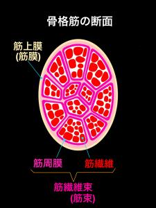 骨格筋の断面、筋上膜、筋繊維束、筋周膜、筋繊維|大阪市住吉区長居藤田鍼灸整骨院