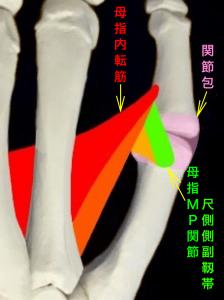 母指MP関節尺側側副靭帯損傷、スキーヤーズサム、ステナーリージョン|大阪市住吉区長居藤田鍼灸整骨院