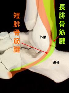 腓骨筋腱炎ー腓骨筋腱の走行|大阪市住吉区長居藤田鍼灸整骨院