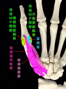 母指MP関節尺側側副靭帯損傷、スキーヤーズサム、ステナーリージョン|藤田鍼灸整骨院