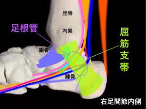 足根管症候群―足根管を構成する骨と屈筋支帯|大阪市住吉区長居藤田鍼灸整骨院