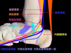 足根管症候群―足根管とその周辺を通る神経と腱|大阪市住吉区長居藤田鍼灸整骨院