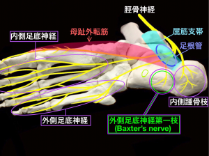 足根管で障害される神経の走行|大阪市住吉区長居藤田鍼灸整骨院