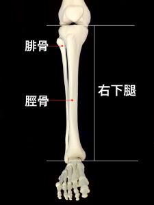 脛骨疲労骨折ー下腿を構成する脛骨と腓骨|住吉区長居藤田鍼灸整骨院