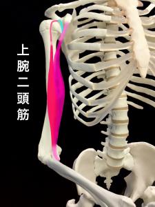 上腕二頭筋部分断裂ー上腕二頭筋|住吉区長居藤田鍼灸整骨院