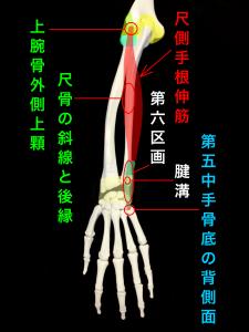 尺側手根伸筋腱脱臼ー尺側手根伸筋腱の走行、第六区画と腱溝の位置|大阪市住吉区長居藤田鍼灸整骨院