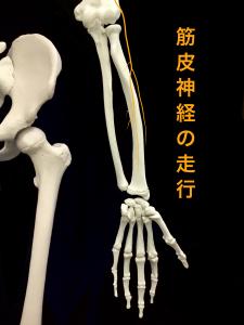 筋皮神経麻痺―筋皮神経の走行|住吉区長居藤田鍼灸整骨院
