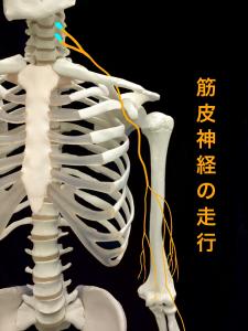 筋皮神経麻痺―筋皮神経の走行|大阪市住吉区長居藤田鍼灸整骨院