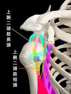 上腕二頭筋腱部分断裂ー上腕二頭筋長頭と短頭|住吉区長居藤田鍼灸整骨院