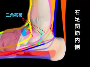足関節不安定症ー足関節内側の支持組織|大阪市住吉区長居藤田鍼灸整骨院