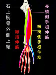 テニス肘・上腕骨外側上顆炎ー短橈側手根伸筋・長橈側手根伸筋・総指伸筋|大阪市住吉区長居藤田鍼灸整骨院
