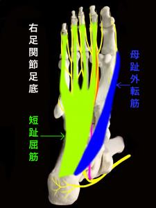 ジョガーズフット―母趾外転筋と短趾屈筋|大阪市住吉区長居藤田鍼灸整骨院