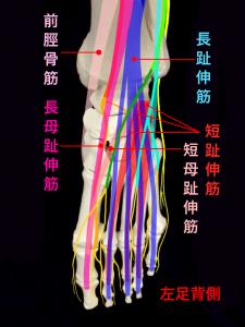 前足根管症候群ー深腓骨神経が支配する短趾伸筋と短母趾伸筋