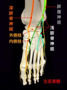 前足根管症候群ー深腓骨神経の走行|大阪市住吉区長居藤田鍼灸整骨院
