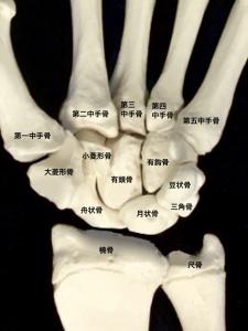 手関節を構成する前腕骨と手根骨(橈骨・尺骨・月状骨・三角骨・豆状骨・大菱形骨・小菱形骨・有頭骨・有鈎骨)