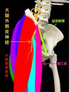 大腿外側皮神経痛ー大腿外側皮神経が障害される部位|大阪市住吉区長居藤田鍼灸整骨院