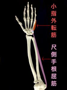 豆状骨骨折ー|大阪市住吉区長居藤田鍼灸整骨院豆状骨に着く尺側手根屈筋と小指外転筋
