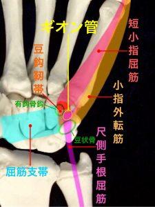 ギオン管とその周囲の筋肉や靭帯|大阪市住吉区長居藤田鍼灸整骨院