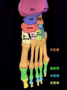 足部を構成する骨、脛骨、腓骨、距骨、踵骨、舟状骨、立方骨、楔状骨、中足骨、基節骨、中節骨、末節骨|大阪市住吉区長居藤田鍼灸整骨院