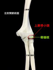 子供の肘関節と骨端核のイメージ|大阪市住吉区長居藤田鍼灸整骨院