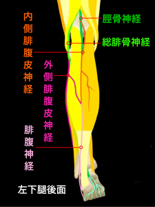 腓腹神経麻痺―下腿の筋肉と腓腹神経の走行|大阪市住吉区長居藤田鍼灸整骨院
