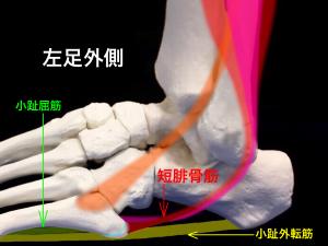 Iselin病(イズリン病・イセリン病):第5中足骨粗面部骨端症ー短腓骨筋|住吉区長居藤田鍼灸整骨院