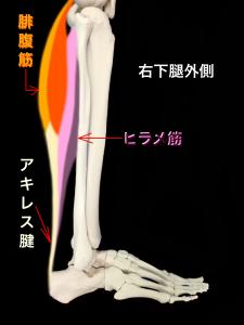 アキレス腱は腓腹筋とヒラメ筋により構成される|大阪市住吉区長居藤田鍼灸整骨院
